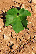 A vine leaf. Vranac grape variety. Typical red reddish clay sand sandy soil mixed with pebbles rocks stones in varying amount. Vineyard on the plain near Mostar city. Hercegovina Vino, Mostar. Federation Bosne i Hercegovine. Bosnia Herzegovina, Europe.