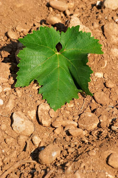 A vine leaf. Vranac grape variety. Typical red reddish clay sand sandy soil mixed with pebbles rocks stones in varying amount. Vineyard on the plain near Mostar city. Hercegovina Vino, Mostar. Federation Bosne i Hercegovine. Bosnia Herzegovina, Europe.