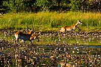 Red lechwe jumping over a stream, near Kwara Camp, Okavango Delta, Botswana.