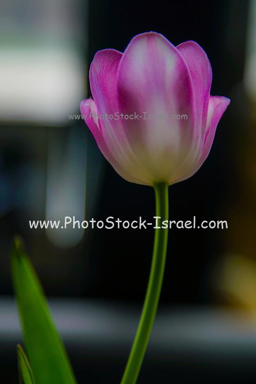 Single perfect mauve tulip in a transparent vase