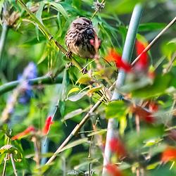"""""""Pardal-doméstico (Passer domesticus) fotografado em São Fransisco, nos Estados Unidos da América - EUA. Registro feito em 2018. <br /> ⠀<br /> ⠀<br /> <br /> <br /> <br /> <br /> ENGLISH: Domestic sparrow photographed in San Fancisco, in United States of América - USA. Picture made in 2018."""""""