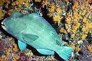 giant bumphead parrotfish, Bolbometopon muricatum,  sleeping in coral crevice at night, Sipadan Island, Sabah, Borneo, Malaysia ( Celebes Sea, Western Pacific Ocean )