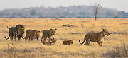 A pride of lions including a mating male and female with  lionesses and their cubs (Panthera Leo) walk together through the grass, Savuti, Botswana