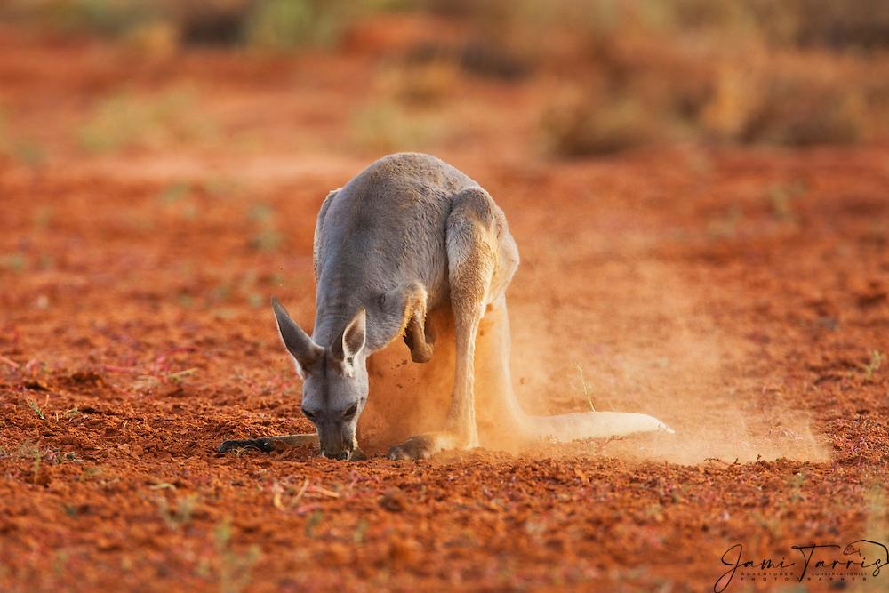 A red kangaroo (Macropus rufus)  digs in the sand for food,  Sturt Stony Desert,  Australia