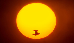 A sea bird flies past the rising sun near the RSPB nature reserve at Bempton Cliffs in Yorkshire, as over 250,000 seabirds flock to the chalk cliffs to find a mate and raise their young.