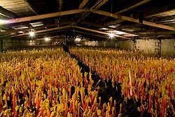 The rhubarb forcing shed at Oldroyds, Yorkshire. Rheum rhubarbarum