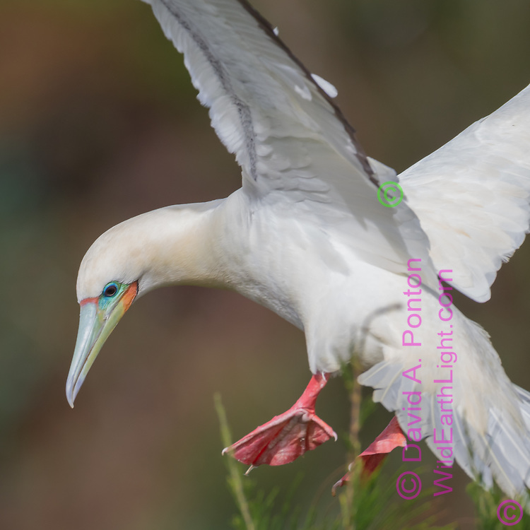 Close view of red-footed booby in flight, passing by tree foliage as if about to land, © David A. Ponton