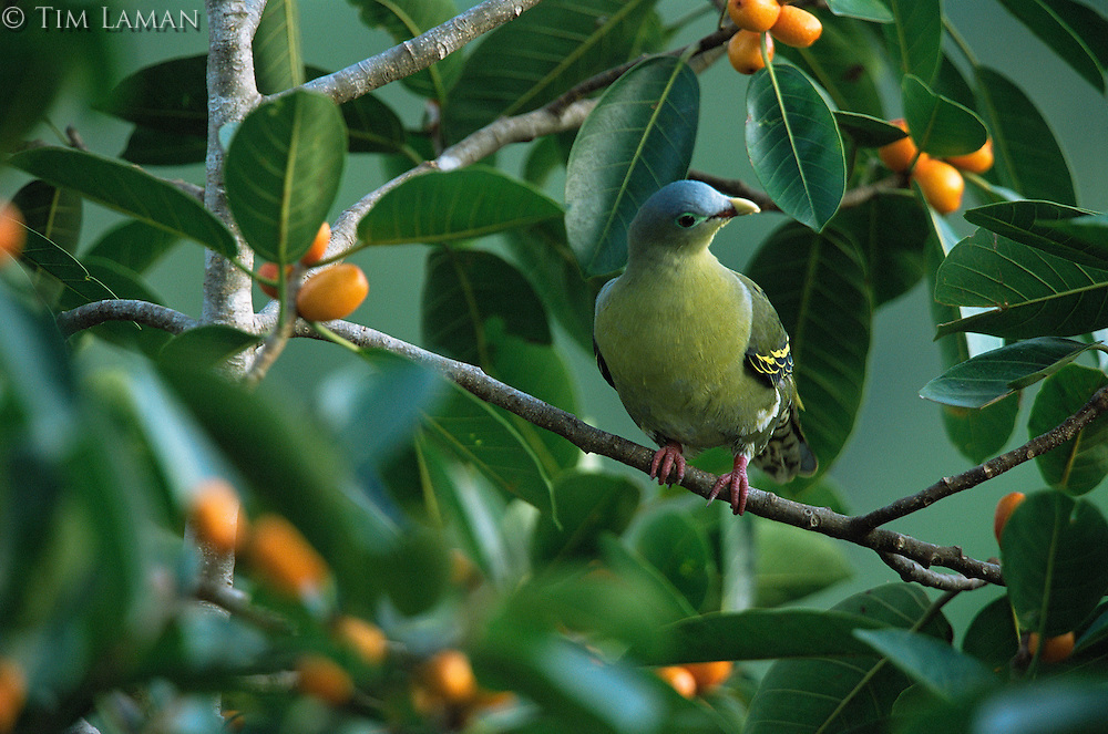 Thick-billed green-pigeon (Treron curvirostra) female  in fig tree..Subterranean River National Park..Palawan Island, Philippines.  Oct 01.