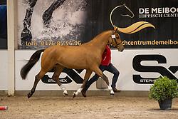 053, Savalino Prinsenveld DSC<br /> BWP Hengstenkeuring 2021<br /> © Hippo Foto - Dirk Caremans<br />  11/01/2021