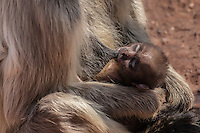 Langur monkeys at Ranthambhore Fort, Sawai Madhopur, India