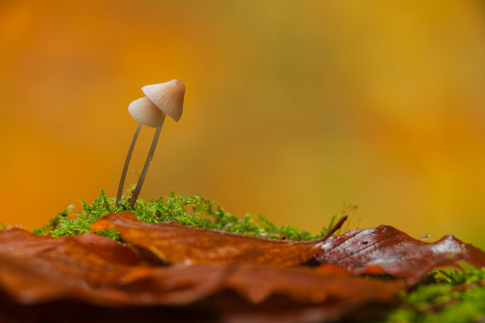 Two mushrooms , Milking Bonnet, Mycena galopus, stuck together  in moss against orange background with leaves in the foreground.