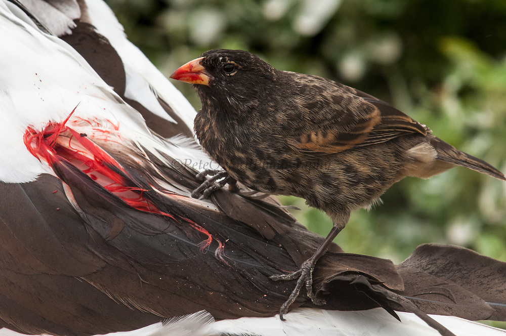 Vampire Finch or Sharp-beaked Ground Finch (Geospiza difficilis) feeding on blood from Nazca Booby. (Sula granti)<br /> Wolf Island<br /> GALAPAGOS ISLANDS<br /> ECUADOR.  South America<br /> On Darwin and Wolf Islands this species has developed the interesting feeding habit of pecking the base of the back feathers until the bird bleeds and drinking the blood. Normally they feed on bird lice but this is probably due to the pausity of food and water on these two islands.