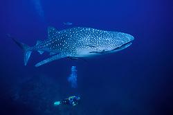 A underwater videographer gazes upward at a Whale Shark, Rhincodon typus. Richelieu Rock, Thailand, Andaman Sea, Indian Ocean