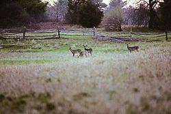 Family Of  White-tailed Deer