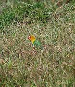 Africa, Tanzania, Serengeti National Park, Fischer's Lovebird, (Agapornis fischeri) sunning in the grass