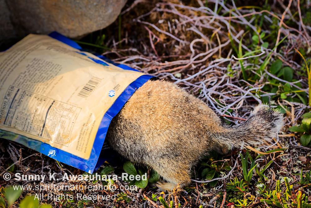 Arctic Ground Squirrel investigating camper's food, Kesugi Ridge, Denali State Park, Southcentral Alaska, Summer.