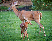 Doe and Fawn with Spots. Image taken with a Nikon D5 camera and 200-500 mm f/5.6 lens.
