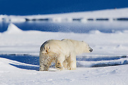 A  polar bear (Ursus maritimus) after climbing out of the water on to a snowy bank, shakes off the water ,Svalbard, Norway