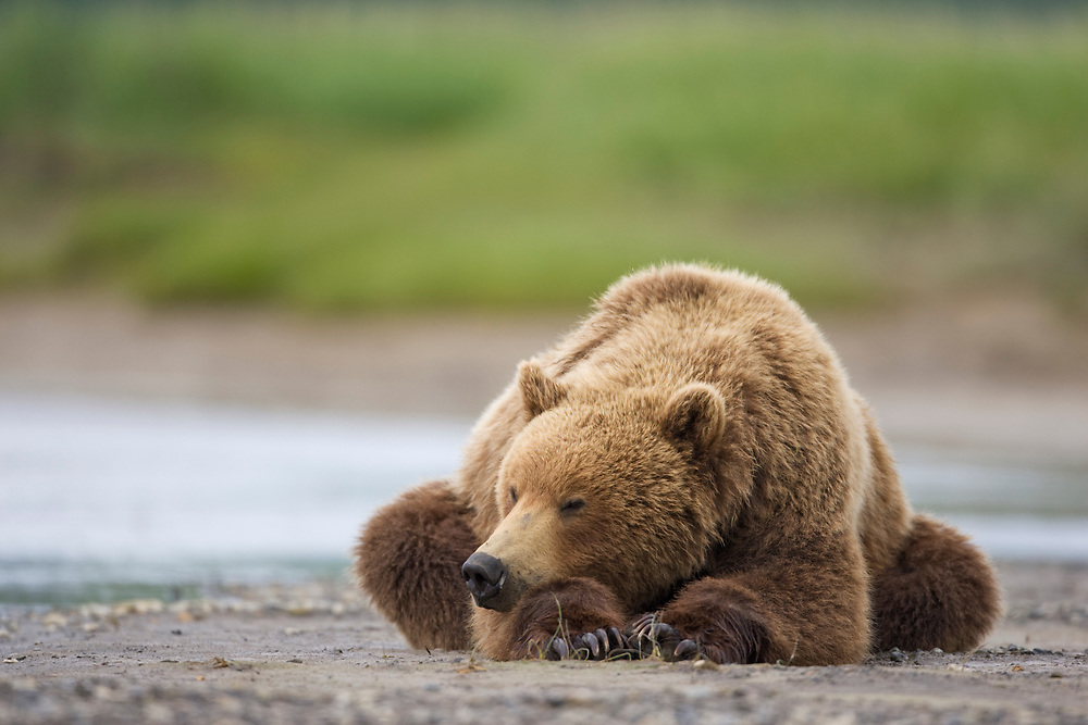 USA, Alaska, Katmai National Park, Brown Bear (Ursus arctos) sleeping on stream bed along Hallo Bay