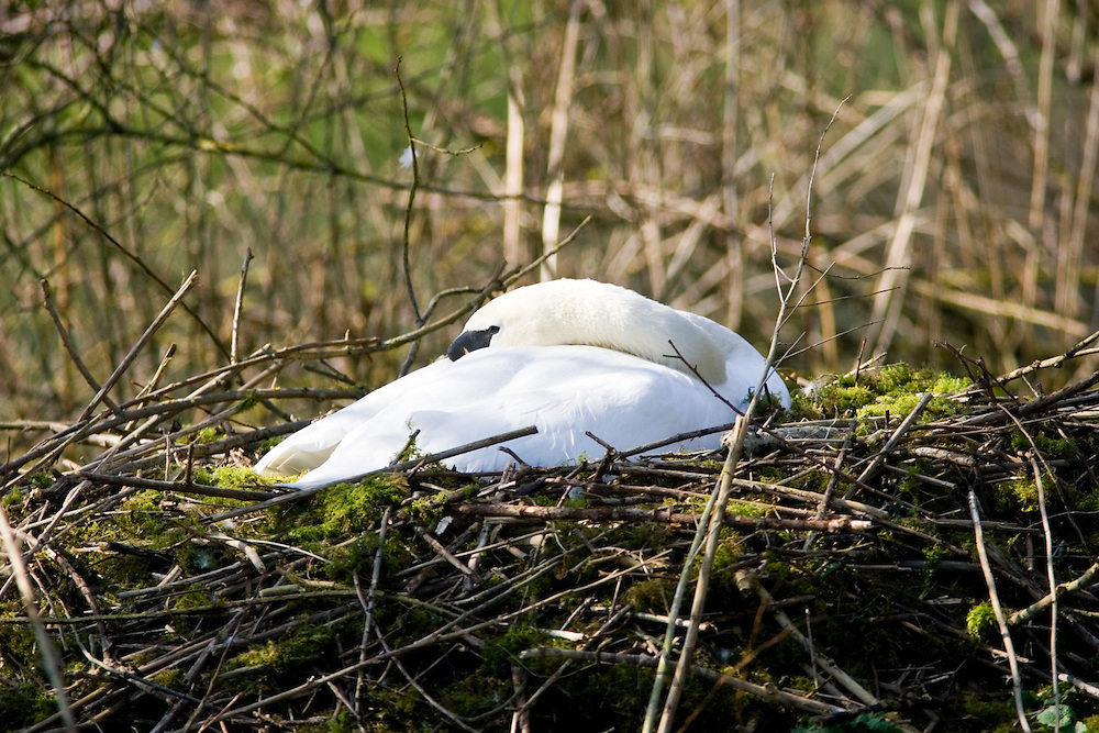 Female mute swan asleep on nest of moss and twigs, Donnington, Gloucestershire, The Cotswolds, England, United Kingdom