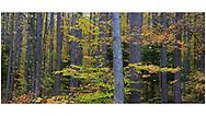 A stand of trees in autumn, Upper Peninsula, Michigan, USA