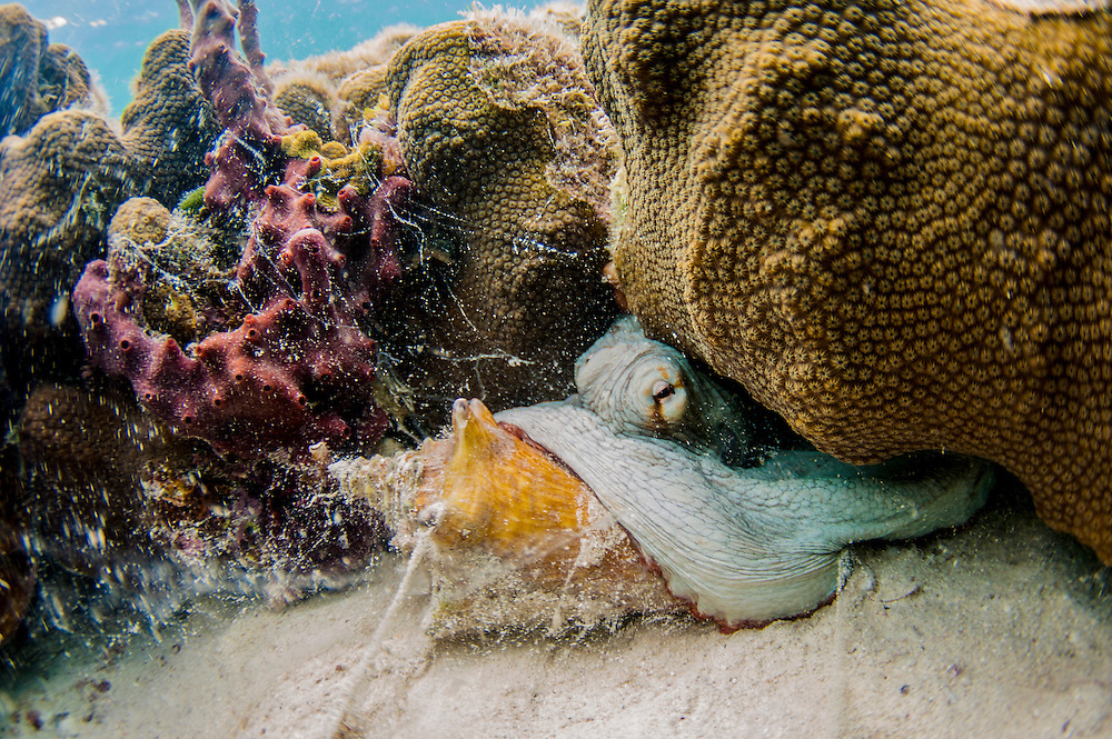 Conch are not only food for people, many animals also enjoy feasting on them. Here a common octopus chows down off Eleuthera, Bahamas.