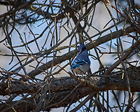 Blue Jay in a tree. Image taken with a Nikon D2xs camera and 80-400 mm VR lens (ISO 400, 400 mm, f/5.6, 1/500 sec).