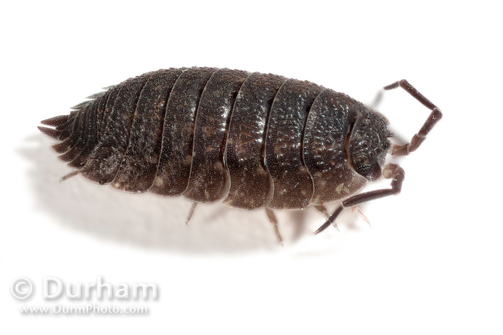 A common rough woodlouse (Porcellio scaber), a terrestrial crustacean found throughout Europe and North America. © Michael Durham / www.DurmPhoto.com