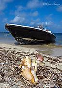 Conch on the beach in Cuba.