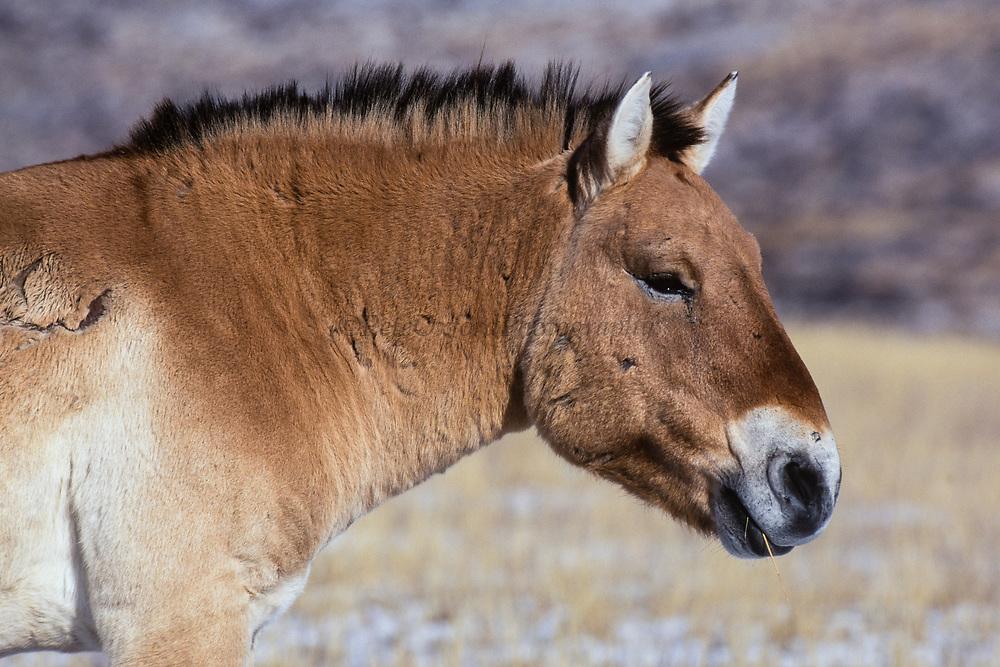 Prezewalski's horse (Equus caballus)<br /> Khustain Nuruu National Park<br /> Mongolia