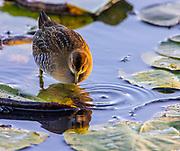 A juvenile sora (Porzana carolina) forages for insects on water lilies on Juanita Bay in Kirkland, Washington.