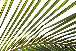 A detail of the fronds of a palm Tree; Las Palmas; Canaries,