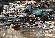 Green ibis (Mesembrinibis cayennensis) from the Amazon, Brazil.