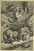 Group of Douroucolis [Douroucoulis, Night Monkey], From the book ' Royal Natural History ' Volume 1 Edited by  Richard Lydekker, Published in London by Frederick Warne & Co in 1893-1894