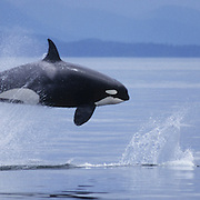 Killer Whale (Orcinus orca) adult leaping out of the water hunting Dall Porpoise. Alaska