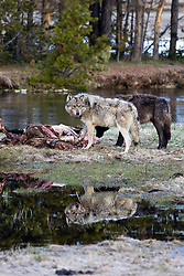 Two Wolves, reflection, Yellowstone National Park