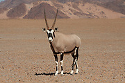 A lone Gemsbok (Oryx Gazella) in Namib-Naukluft National Park, Namibia.