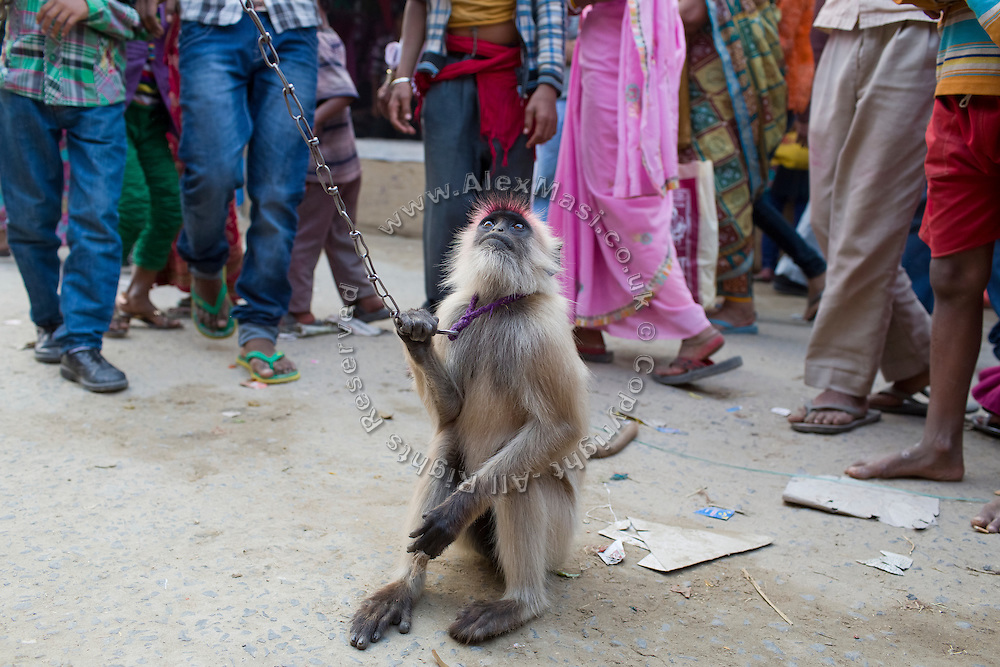 A small monkey, chained by the neck, is being exhibited during the yearly Sonepur Mela, Asia's largest cattle market, in Bihar, India.