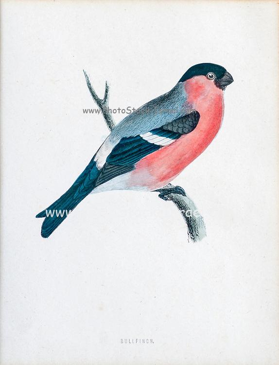 Eurasian bullfinch (Pyrrhula pyrrhula) artwork