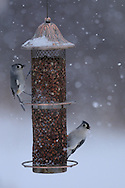 A pair of Tufted Titmouse feeding on peanuts at a bird feeder in upstate NY while it is snowing.
