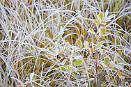 Hoarfrost forms on grasses and huckleberry leaves at the edge of Reflection Lakes on clear autumn nights bringing the first sign of winter to Mount Rainier National Park, WA, USA
