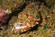 Tassled Scorpionfish with open mouth (note tiny fish perched on upper lip).(Scorpaenopsis oxycephala).Lembeh Straits, Indonesia