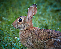 Harvey the Rabbit in My Backyard. Summer Nature in New Jersey. Image taken with a Nikon 1 V2 camera, FT1 adapter, and 80-400 mm VRII lens (ISO 160, 400 mm, f/5.6, 1/20 sec). Note that this is equivalent to 1080 mm on a 35 mm sensor, and was hand-held. Raw image processed with Capture One Pro 8, Focus Magic, and Photoshop CC.