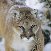 Mountain Lion or Cougar (Felis concolor) adult in the Rocky Mountains during the winter. Captive Animal
