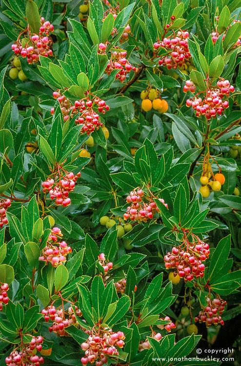Arbutus unedo f rubra in fruit<br /> Strawberry tree