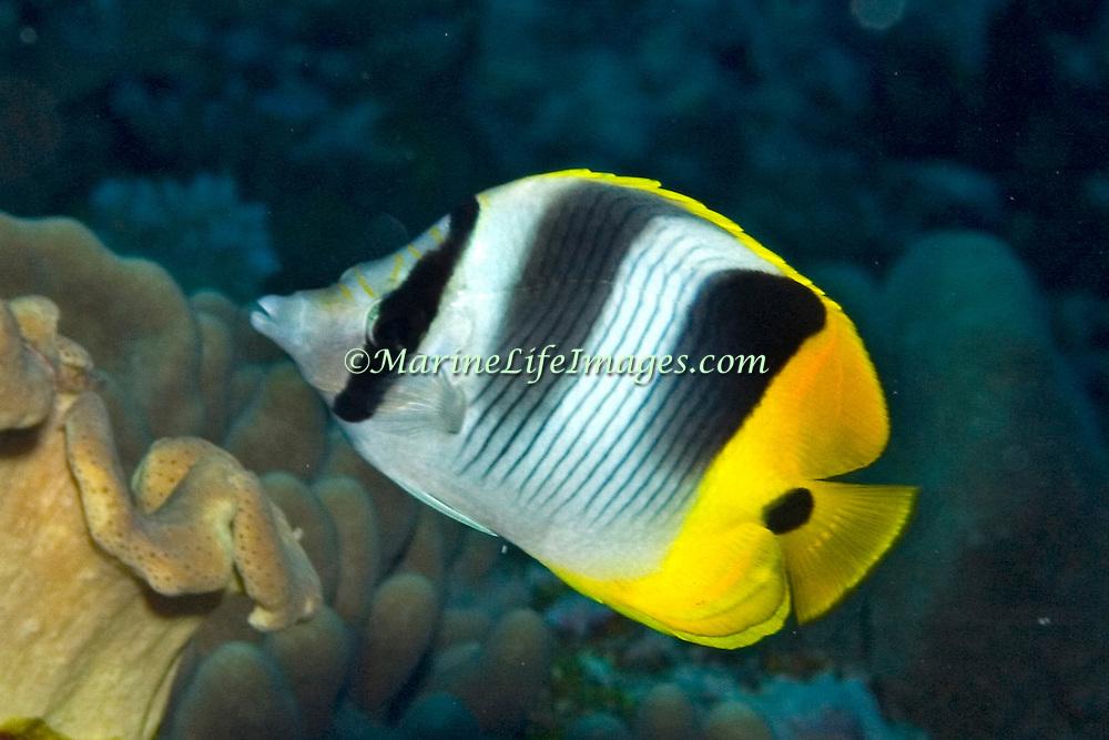 Pacific Double Saddle Butterflyfish inhabit reefs. Picture taken Fiji.