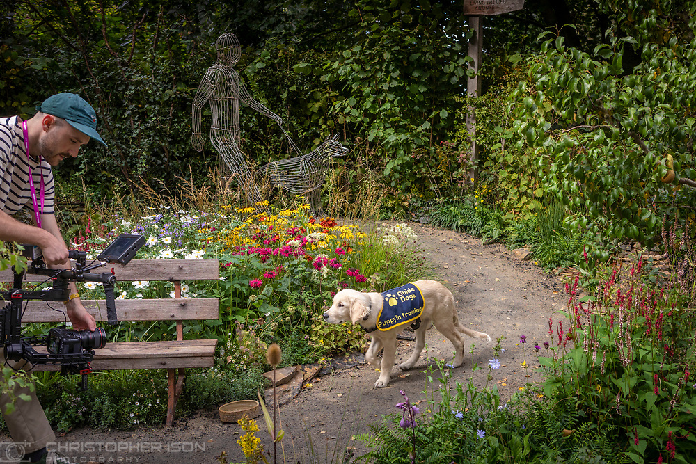 Guide Dog puppy in training, Chelsea, pictured in the Artisan Garden at RHS Chelsea which has been created this year in celebration of 90 years of guide dog partnerships in Britain. Chelsea is 18 weeks-old and named to celebrate the event.<br /> Picture date: Monday September 20, 2021.<br /> Photograph by Christopher Ison ©<br /> 07544044177<br /> chris@christopherison.com<br /> www.christopherison.com