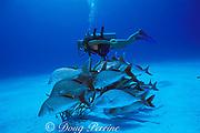 diver and margates, Haemulon album,<br /> West Caicos, Turks & Caicos Islands,<br /> ( Western Atlantic Ocean )  MR 156