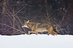 Coyote running in snow and fog, Trinity River Audubon Center, Dallas, Texas, USA.
