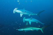 At certain times of the year and places, and during certain phases of their lives, scalloped hammerheads form very large schools, sometimes counting hundreds of individuals.  Some populations remain stationary; others clearly wander, migrating in the direction of the poles in summer. Some sexually-related migrations have also been observed, e.g. females who undertake migrations during particular periods of their sexual development.